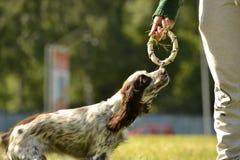 Perro de aguas ruso de la caza Perro enérgico joven en un paseo Educación de los perritos, cynology, entrenamiento intensivo de p imágenes de archivo libres de regalías