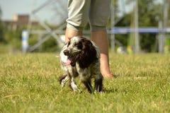 Perro de aguas ruso de la caza Perro enérgico joven en un paseo Educación de los perritos, cynology, entrenamiento intensivo de p fotos de archivo