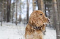 Perro de aguas ruso rojo fotos de archivo