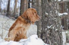 Perro de aguas ruso rojo fotos de archivo libres de regalías