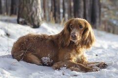 Perro de aguas ruso rojo imágenes de archivo libres de regalías
