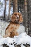 Perro de aguas ruso rojo fotografía de archivo libre de regalías