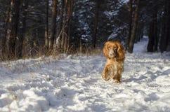 Perro de aguas ruso rojo de funcionamiento foto de archivo