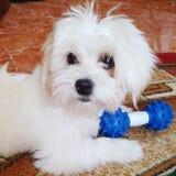 Perro de Aicha Fotos de archivo