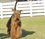 Perro de Airedale Terrier foto de archivo