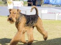 Perro de Airedale Terrier imagen de archivo libre de regalías