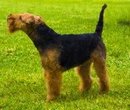Perro de Airedale Terrier Retrato del terrier agradable del airedale en el jardín fotos de archivo libres de regalías