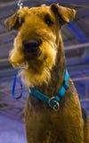 Perro de Airedale Terrier Retrato del perro criado en línea pura Terrier irlandés fotografía de archivo