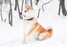 Perro de Akita Foto de archivo libre de regalías