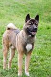Perro de Akita Imagenes de archivo