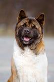 Perro de Akita del americano al aire libre foto de archivo libre de regalías
