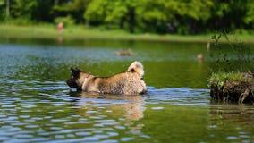 Perro de Akita del americano en el agua almacen de metraje de vídeo