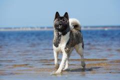 Perro de Akita del americano en la playa en verano Fotos de archivo