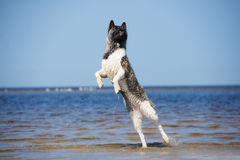 Perro de Akita del americano que juega en una playa Fotos de archivo