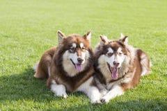 Perro de Alaska del gigante fotos de archivo