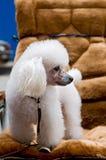 Perro de animal doméstico Fotos de archivo