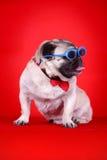Perro de animal doméstico divertido Foto de archivo