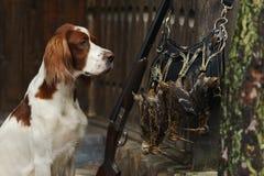 Perro de arma cerca a la escopeta y a los trofeos Imágenes de archivo libres de regalías