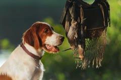 Perro de arma cerca a los trofeos Fotos de archivo libres de regalías