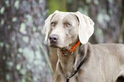 Perro de arma de Weimaraner, foto de la adopción del animal doméstico, Monroe Georgia los E.E.U.U. Foto de archivo libre de regalías