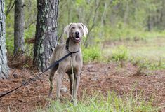 Perro de arma de Weimaraner, foto de la adopción del animal doméstico, Monroe Georgia los E.E.U.U. Imagen de archivo libre de regalías