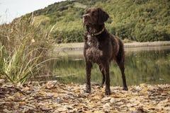 Perro de búsqueda bretón imagen de archivo libre de regalías