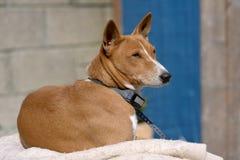 Perro de Basenji Foto de archivo