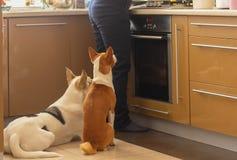 Perro de Basenji con su amigo blanco de la raza mezclada que se sienta cerca de estufa y que espera pacientemente hasta su cocina imágenes de archivo libres de regalías