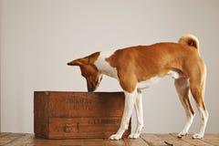 Perro de Basenji con un cajón de madera del vino Foto de archivo