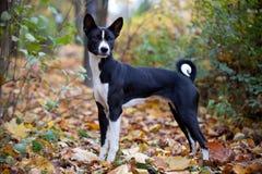 Perro de Basenji en parque del otoño imagen de archivo