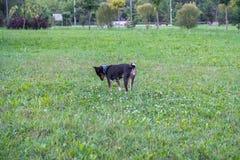 Perro de Basenji en un paseo en el parque de la ciudad imagenes de archivo