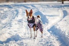 Perro de Basenji que camina en el parque en invierno Imágenes de archivo libres de regalías