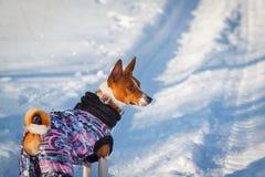 Perro de Basenji que camina en el parque en invierno Imagen de archivo libre de regalías