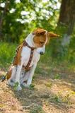 Perro de Basenji que mira abajo mientras que se sienta en la tierra Fotos de archivo libres de regalías