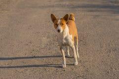 Perro de Basenji que se coloca en una carretera de asfalto Fotografía de archivo libre de regalías