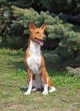 Perro de Basenji que se sienta en un césped verde imagenes de archivo