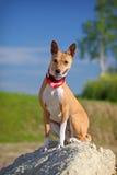 Perro de Basenjis Fotos de archivo libres de regalías