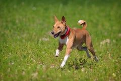 Perro de Basenjis Imagen de archivo libre de regalías