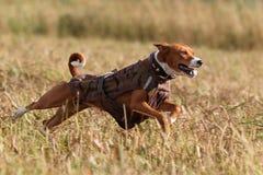Perro de Basenjis Fotografía de archivo libre de regalías