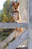 Perro de Basenjis Fotos de archivo