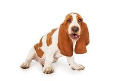 Perro de Basset Hound con la expresión divertida fotografía de archivo
