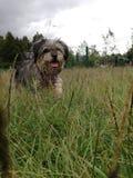 Perro de Beautyful que camina en el campo foto de archivo libre de regalías