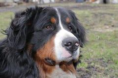 Perro de Berna Foto de archivo libre de regalías