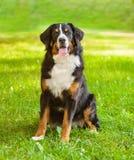 Perro de Berner Sennenhund del retrato en hierba verde Fotos de archivo libres de regalías