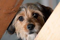 Perro de Borkie que mira a escondidas con una sima imagen de archivo