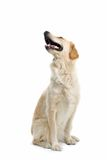 Perro de bostezo Imágenes de archivo libres de regalías