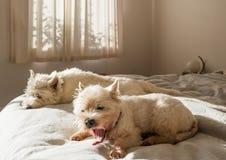 Perro de bostezo: perro del westie del terrier blanco de montaña del oeste que despierta por la mañana en cama imágenes de archivo libres de regalías