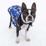 Perro de Boston Terrier en la nieve que lleva la chaqueta azul Fotografía de archivo