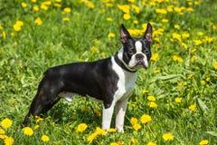 Perro de Boston Terrier que se coloca en la hierba y los dientes de león fotos de archivo