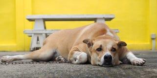 Perro de Brown Foto de archivo libre de regalías
